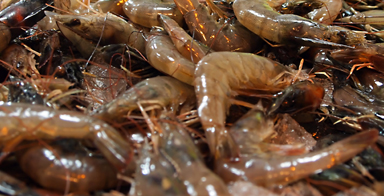 Texas Gulf shrimp recall: Precautionary recall issued for pre-packaged Texas Gulf Shrimp