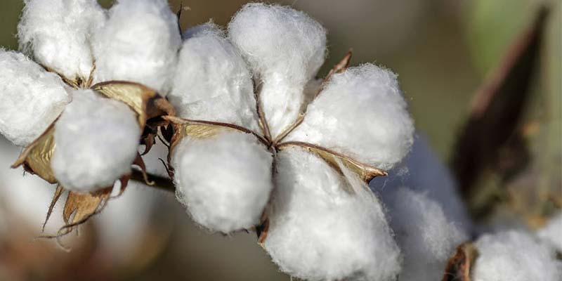 Cornyn, Arrington Op-Ed: In Texas, Cotton is Still King